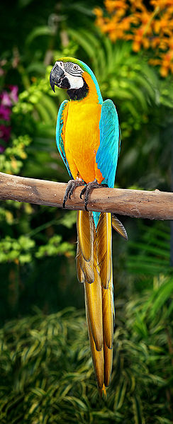 244px-blue-and-yellow-macaw
