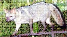 cerdocyon-thous-panama.jpg