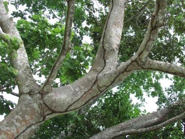 Árbol Nacional de Panamá: Sterculia apetala | Biota Panama