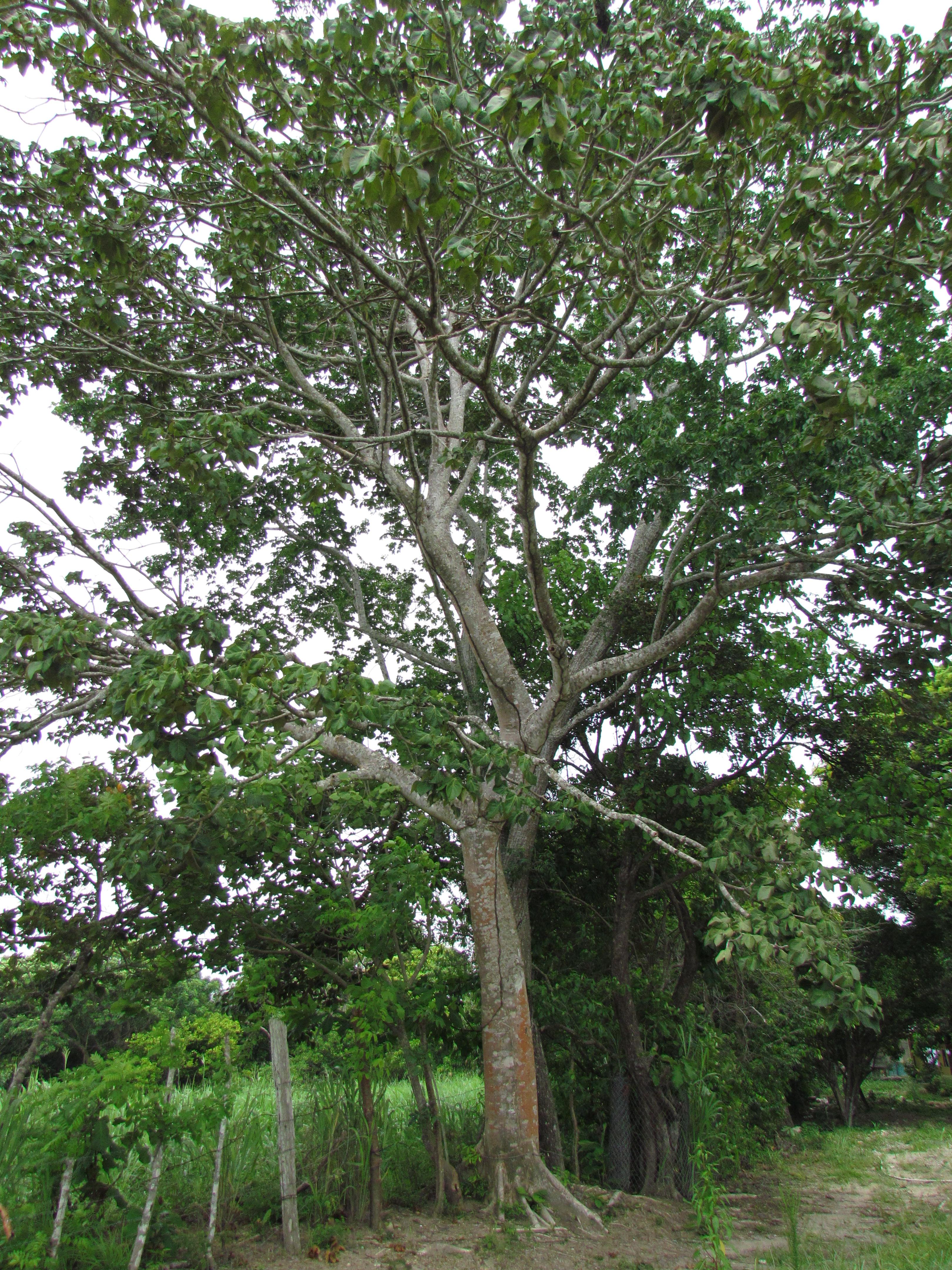 Rbol nacional de panam sterculia apetala biota panama for Vivero arboles grandes