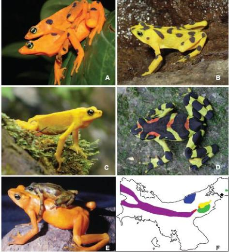 Panamanian Golden Frog, Rana Dorada panameña